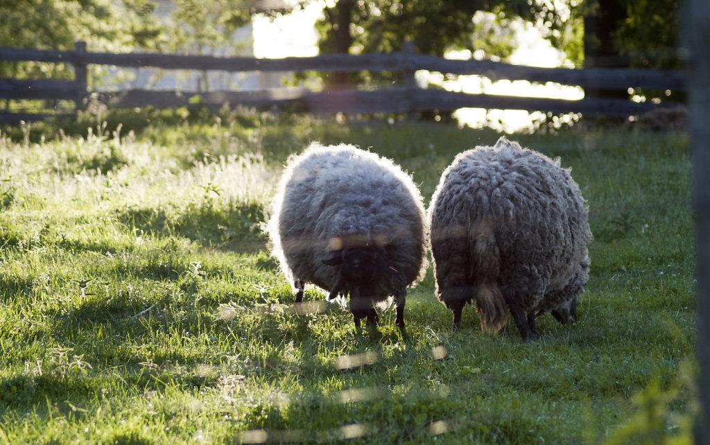 Zwei Schafe in der Abendsonne 8016.1