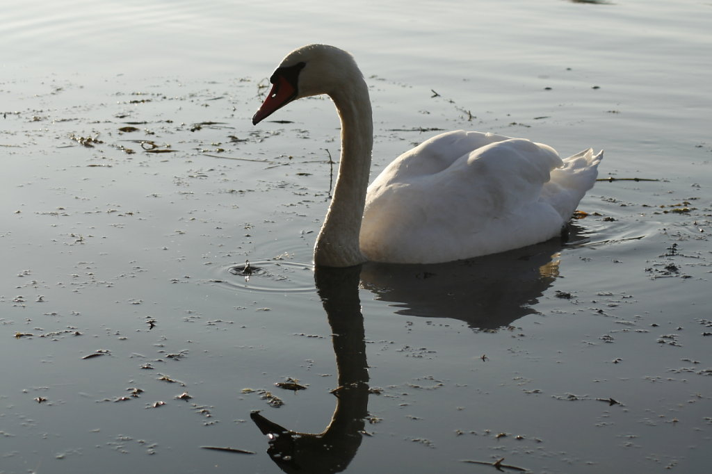 Schwaene in der LaueCospudener See 7288