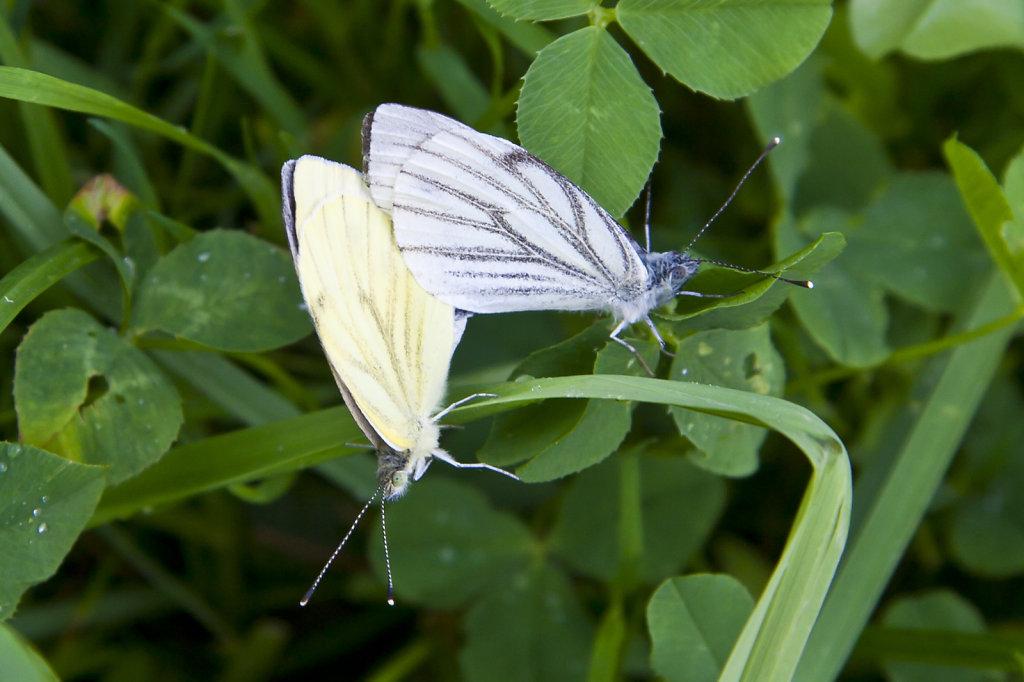 Schmetterlinge bei der Paarung 4141.1