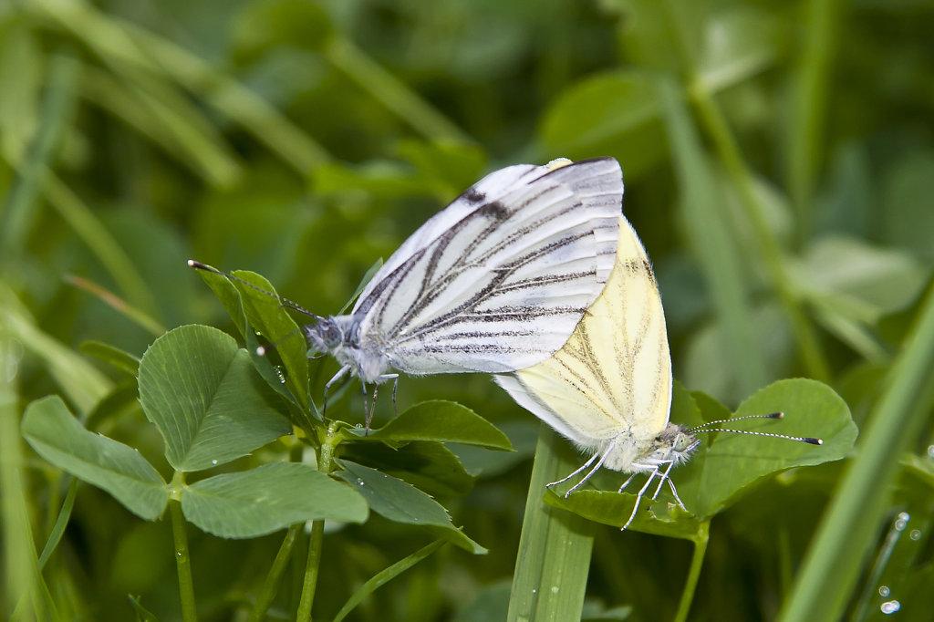Schmetterlinge bei der Paarung 4136.1