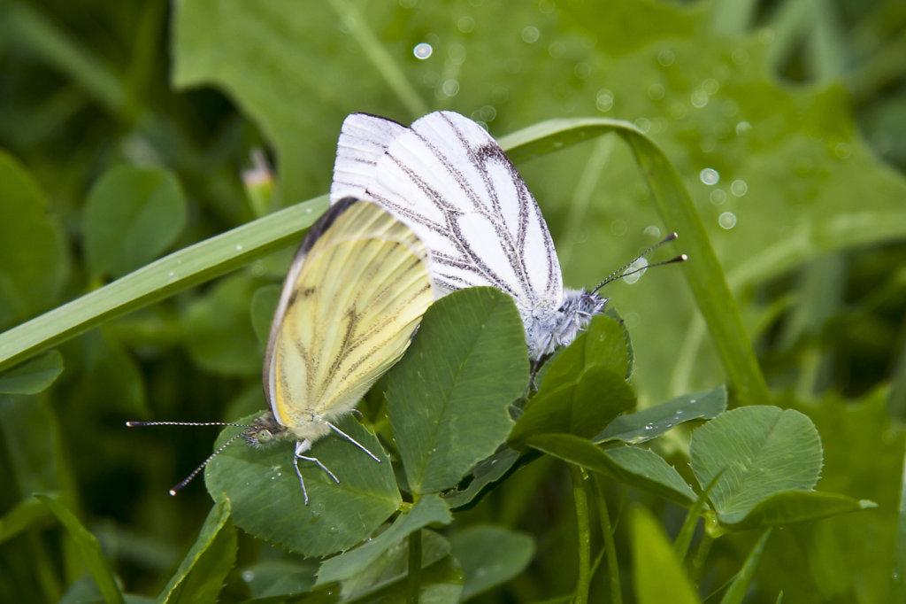 Schmetterlinge bei der Paarung 4120.1