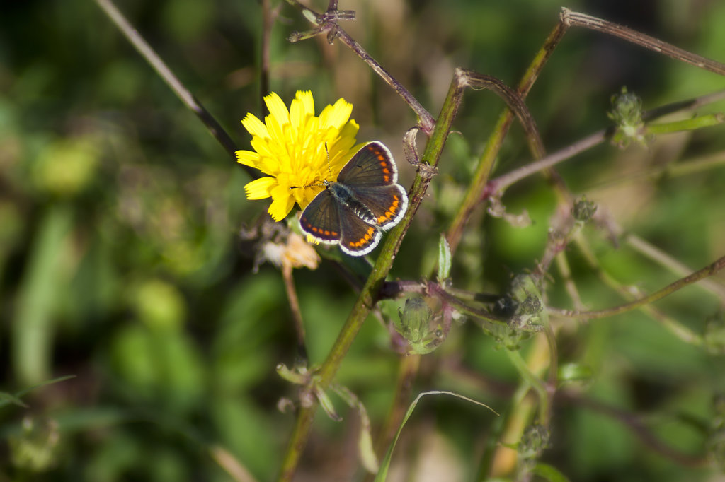 Schmetterling Kleiner Sonnenroeschen Bläuling Aricia agestis 6681.1
