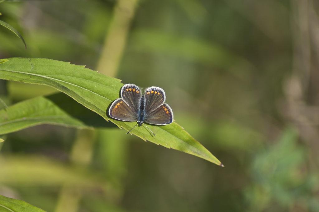 Schmetterling Kleiner Sonnenroeschen Bläuling Aricia agestis 6670.2