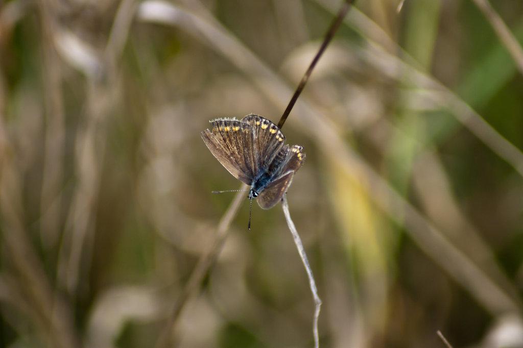 Schmetterling Kleiner Sonnenröschen Bläuling Aricia agestis 6582.1