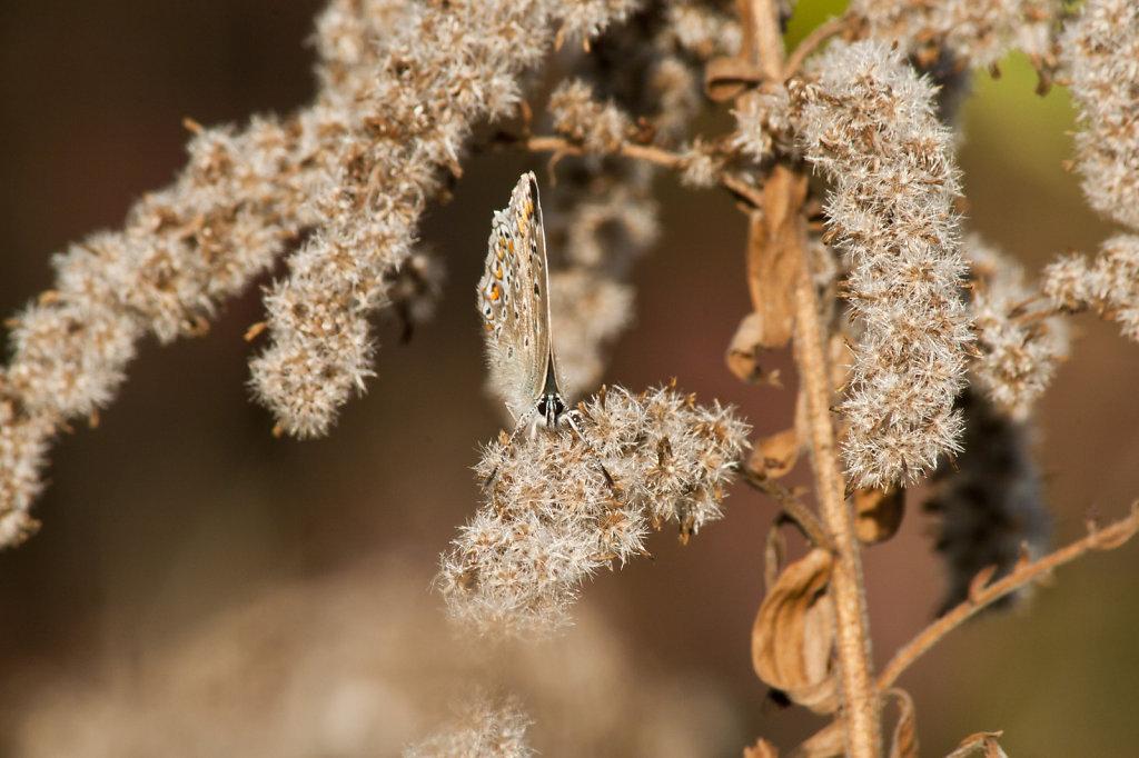 Hauhechelbläuling (Polyommatus icarus) auf Kanadischer Goldrute (Solidago Canadensis) 6911.1