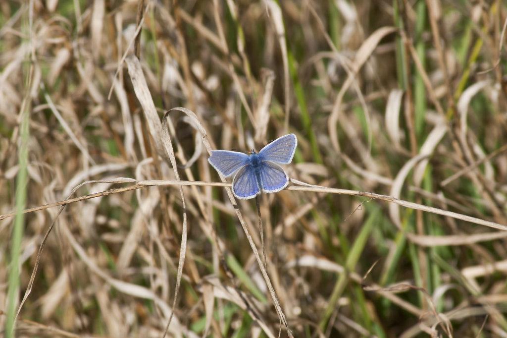 Schmetterling Hauhechelbläuling Polyommatus icarus im Gras 6629.1