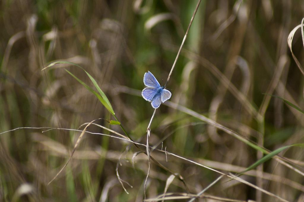 Schmetterling Hauhechelbläuling Polyommatus icarus im Gras 6613.1