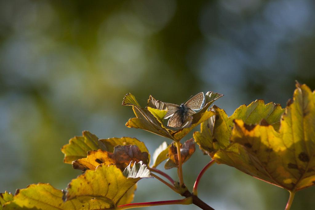 Schmetterling Hauhechelbläuling Polyommatus icarus im Baum 6570-11