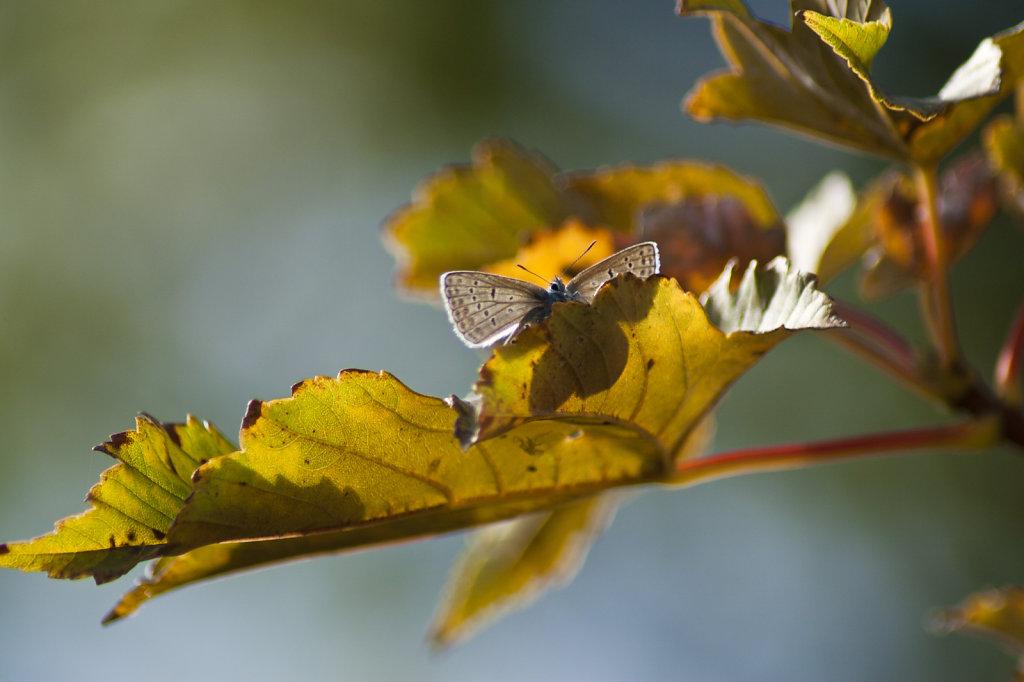 Schmetterling Hauhechelbläuling Polyommatus icarus im Baum 6564.1