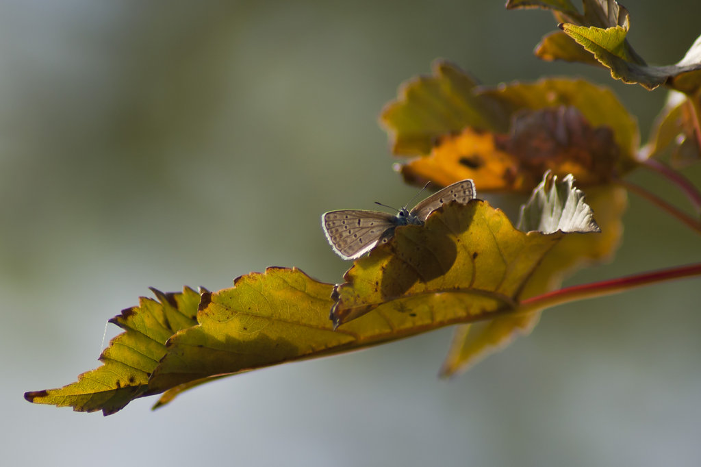 Schmetterling Hauhechelbläuling Polyommatus icarus im Baum 6561.1