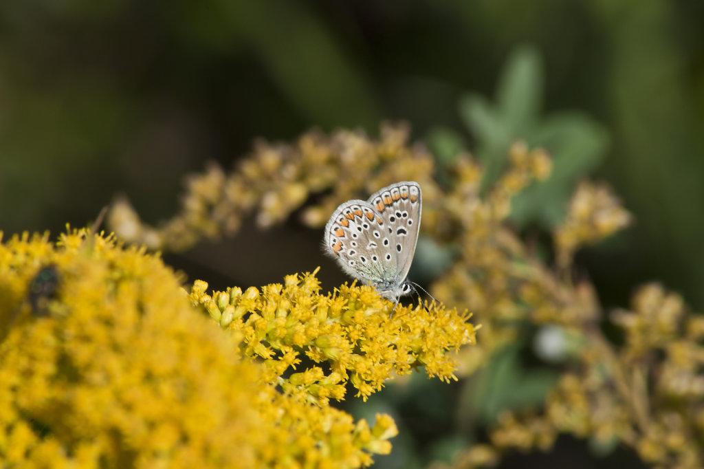 Hauhechelbläuling (Polyommatus icarus) auf Kanadischer Goldrute (Solidago Canadensis) 6645.1