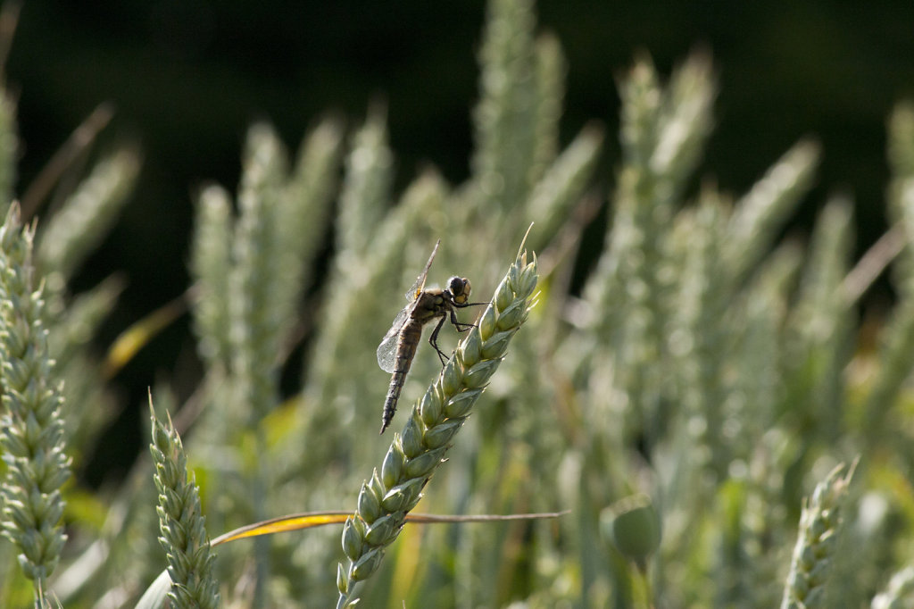Libelle sitzt auf Weizen 2493.1