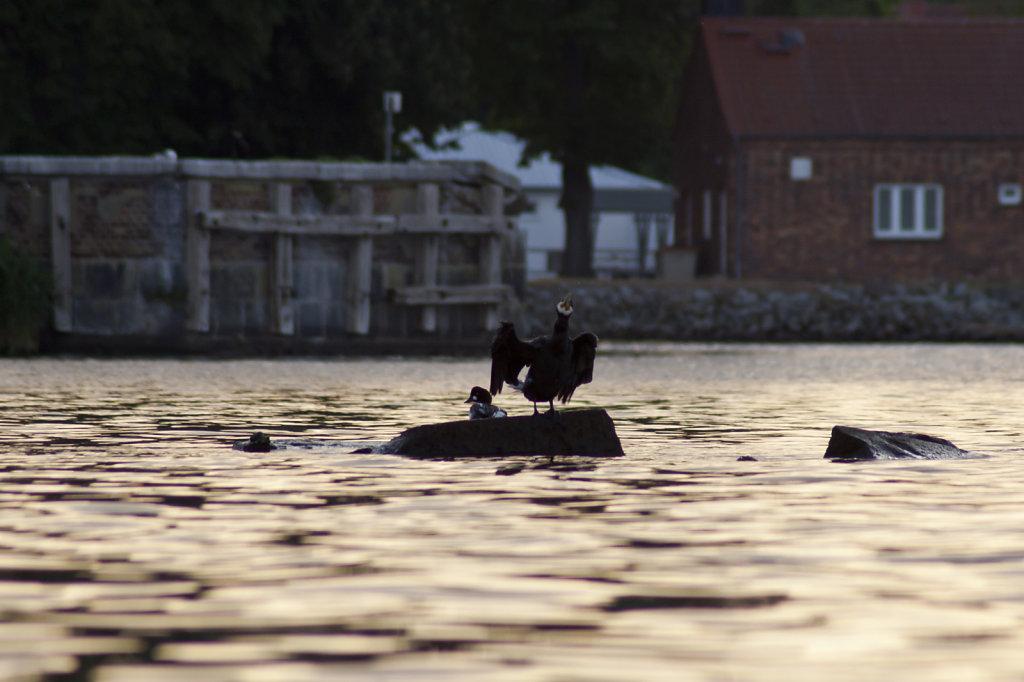 Kormoran und kleinerer Vogel auf einem Stein im Wasser 2048.1