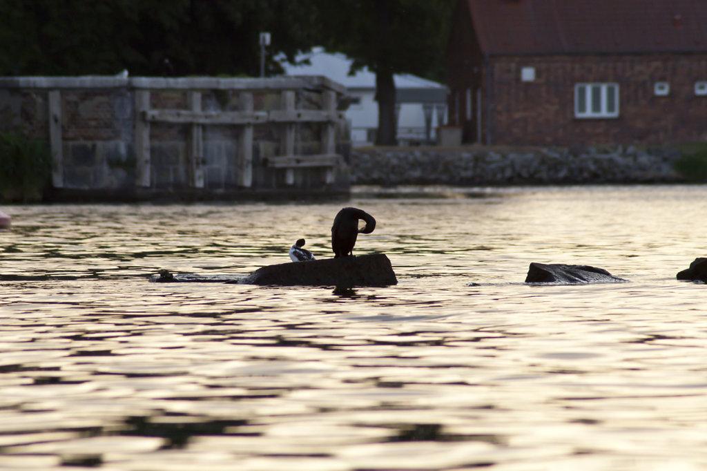 Kormoran und kleinerer Vogel auf einem Stein im Wasser 2047.1