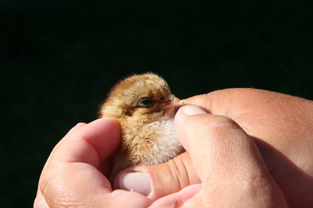Hühnerküken 0680