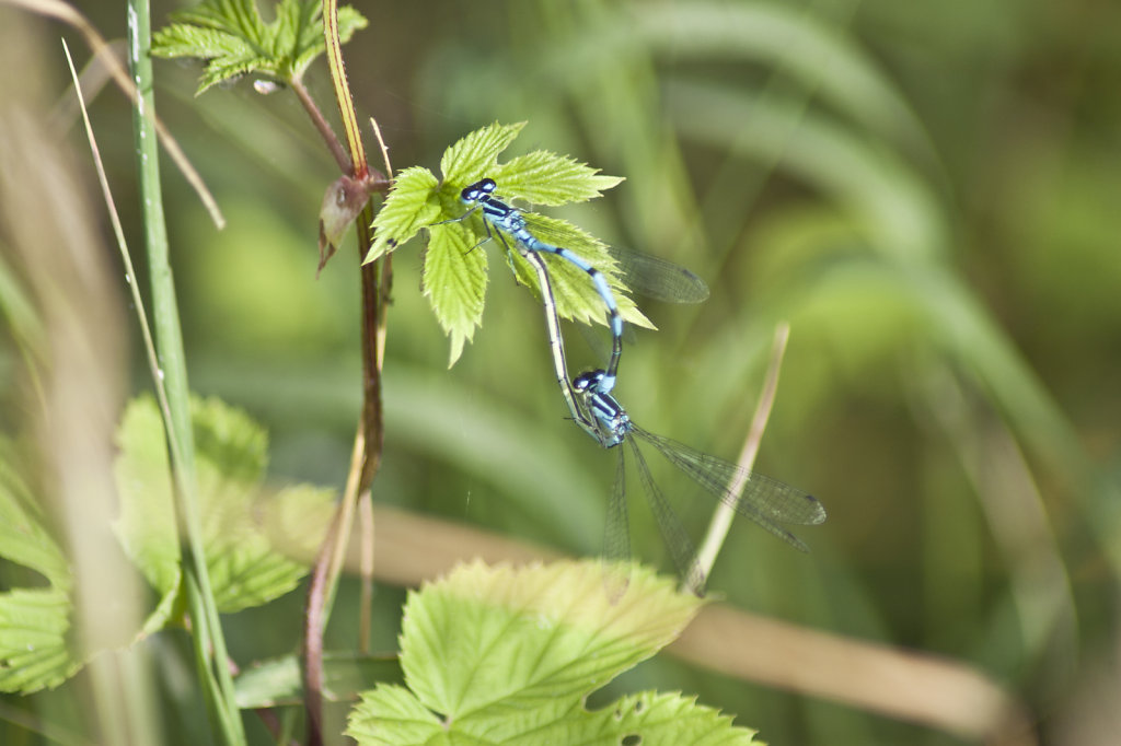 Hufeisen Azurjungfern Libellen Coenagrion puella bei der Paarung 2172.1