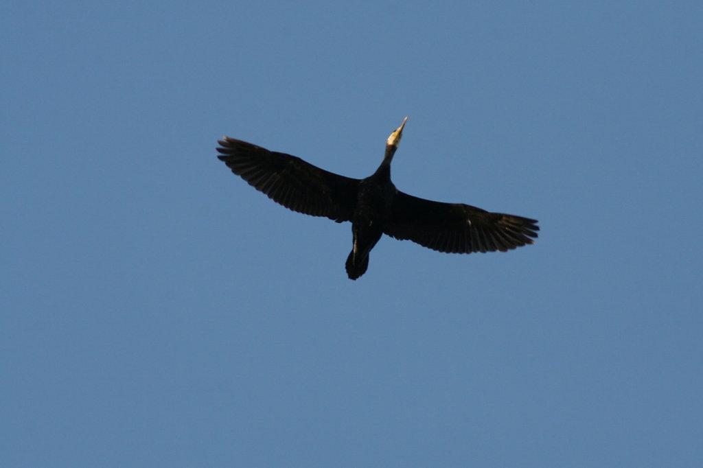 Fliegender Kormoran  0989