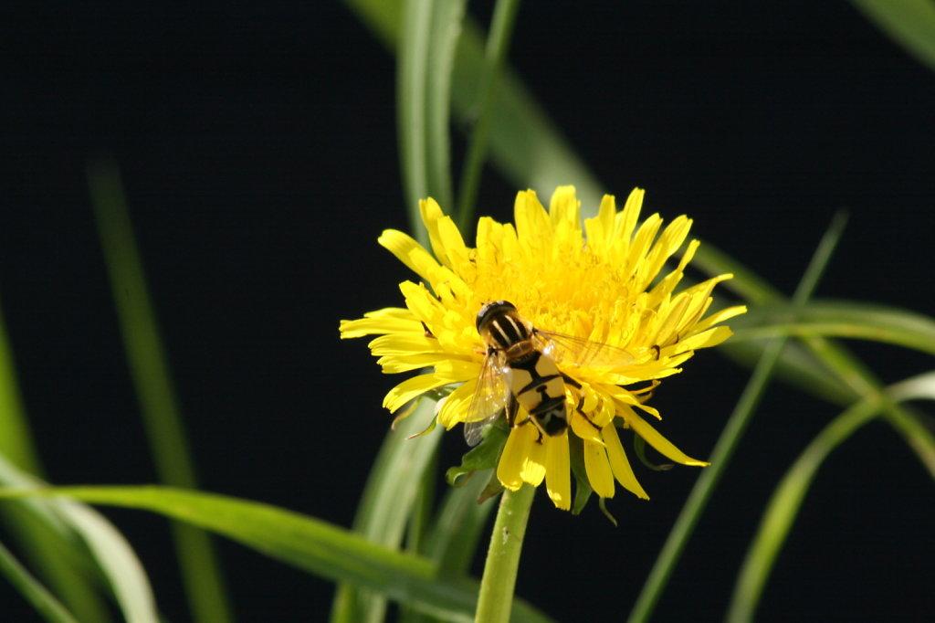 Butterblume mit Insekt 1266