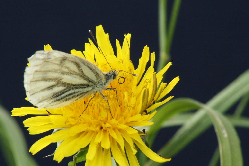 Butterblume Löwenzahn mit Baumweissling Schmetterling Aporia crataegi 1314