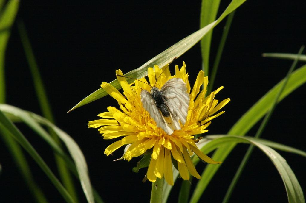 Butterblume Löwenzahn mit Baumweissling Schmetterling Aporia crataegi 1284