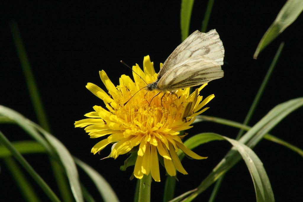 Butterblume Löwenzahn mit Baumweissling Schmetterling Aporia crataegi 1279