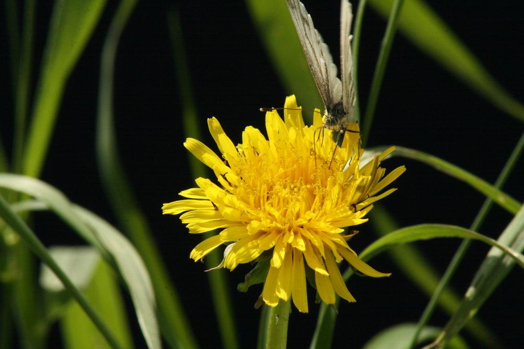 Butterblume Löwenzahn mit Baumweissling Schmetterling Aporia crataegi 1274