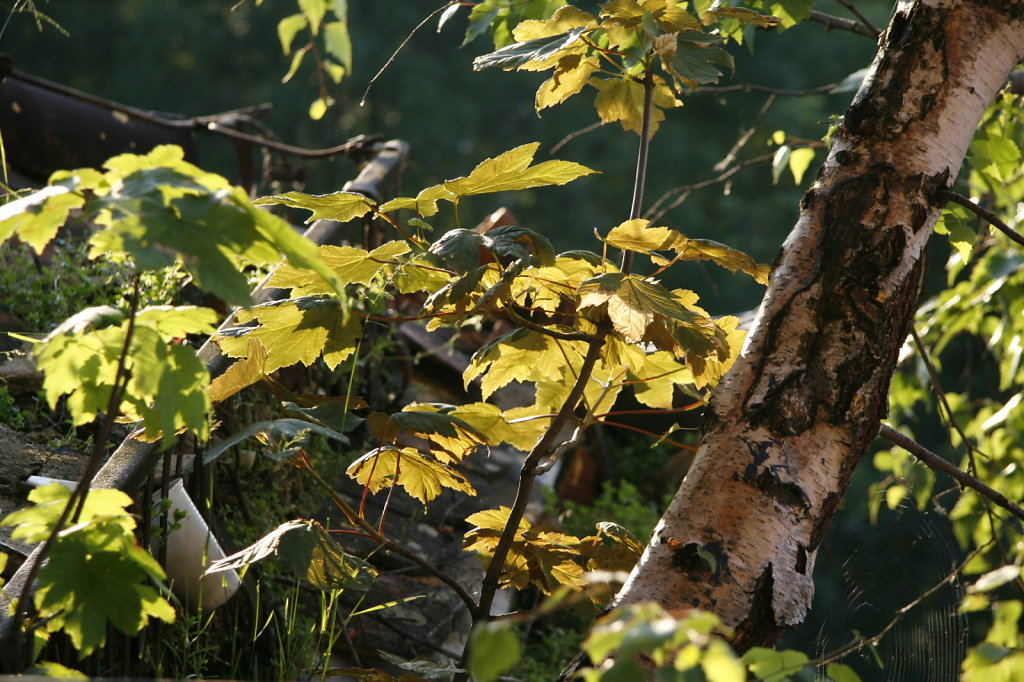 Birke wächst aus der Regenrinne  8211