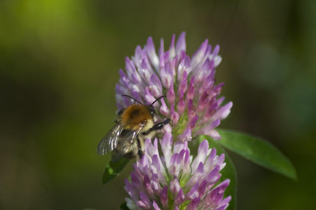 Biene auf der Bluete eines Gewoehnlichen Teufelsabbiss Succisa pratensis 6690.1