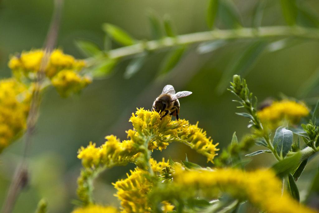 Biene Apis mellifera auf gelber Bluete kanadische Goldrute Solidago canadensis 5952.1