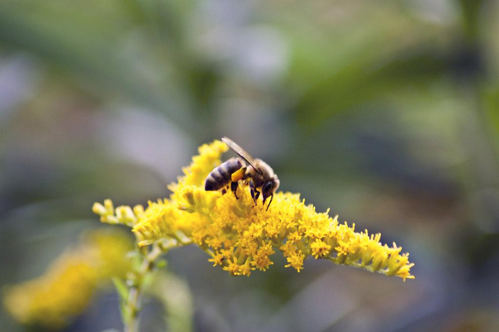 Biene Apis mellifera auf gelber Bluete kanadische Goldrute Solidago canadensis 5926.1