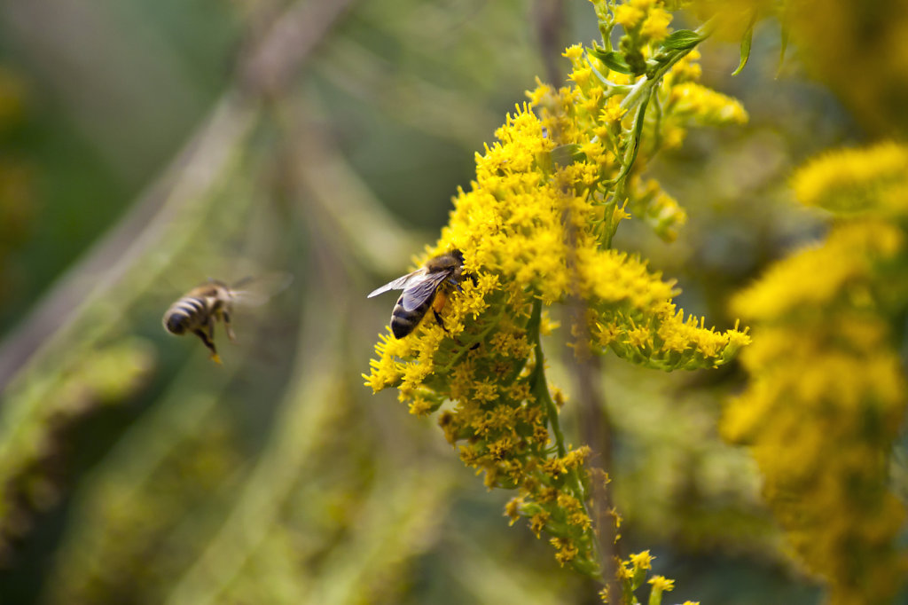 Biene Apis mellifera auf gelber Bluete kanadische Goldrute Solidago canadensis 5900.1