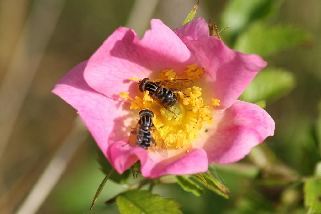 Heckenrose Hagebutte Rosa Canina 2121