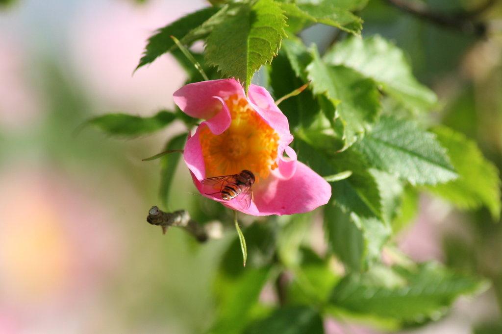 Heckenrose Hagebutte Rosa Canina 2119