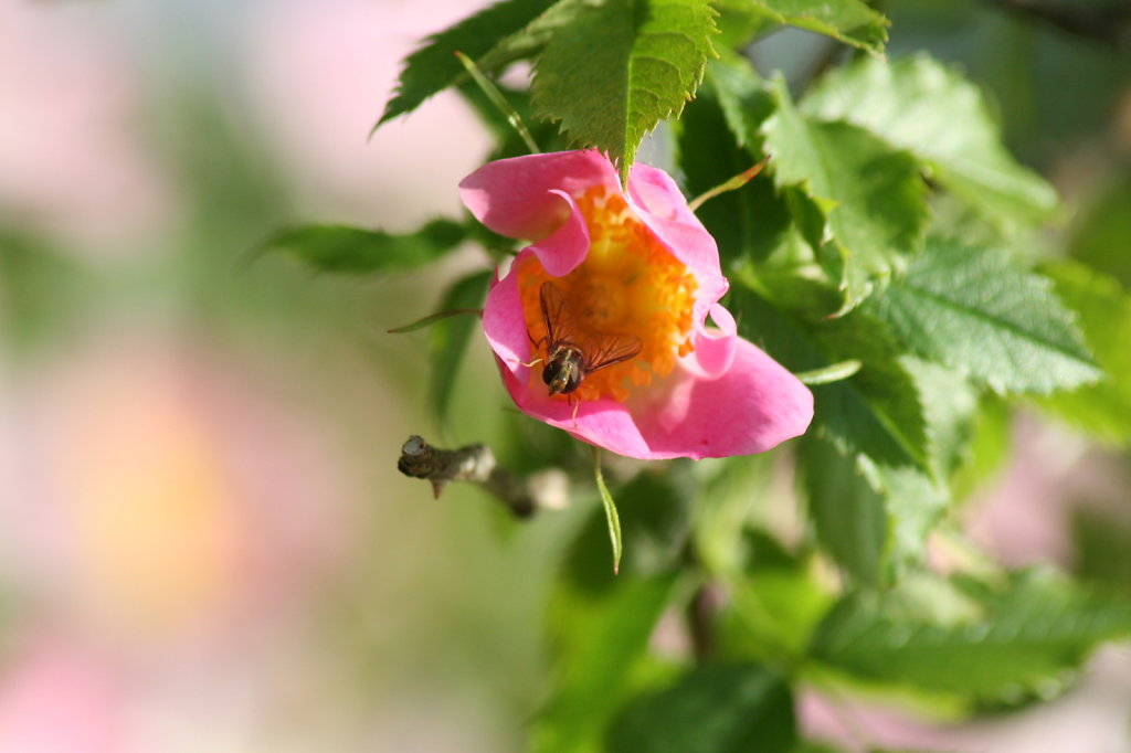 Heckenrose Hagebutte Rosa Canina 2116