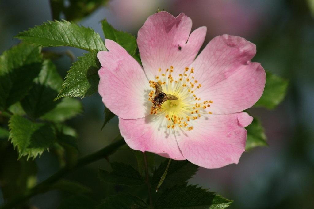 Heckenrose Hagebutte Rosa Canina 2113
