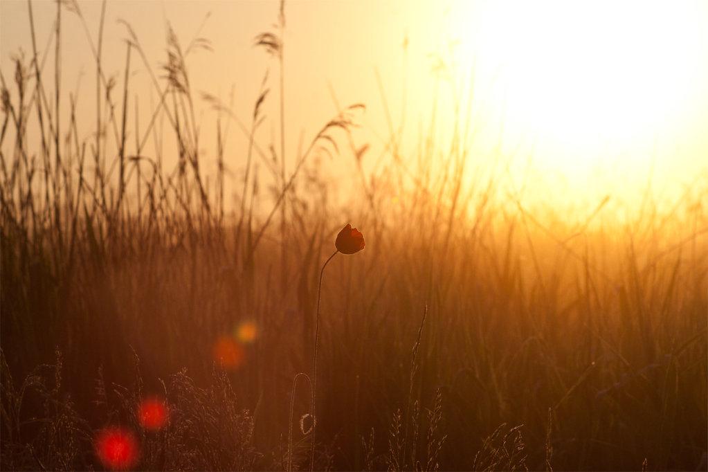 Mohnblume im Sonnenaufgang